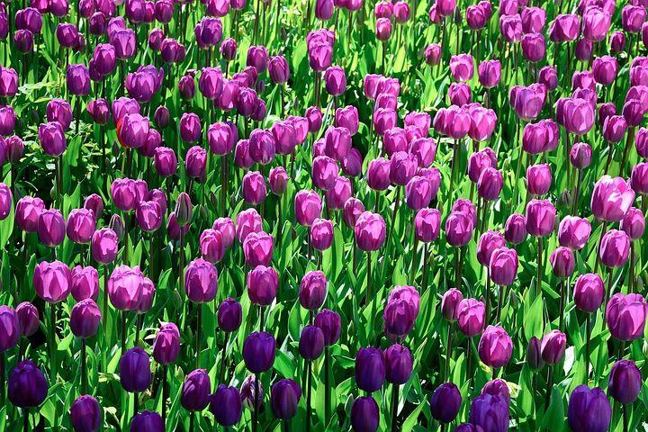 tulipánové pole1